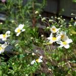 Flowers at Inari